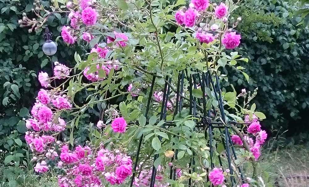 Ramblerrose im Gartenblog