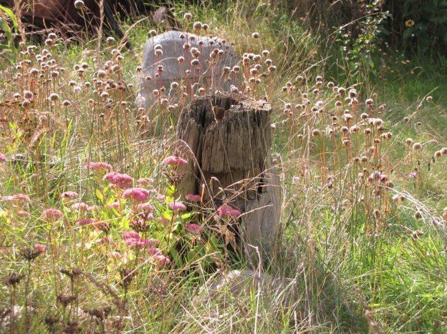 Gartenbild Grasnelken